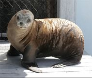 California Sea Lion Makes Public Debut at Aquarium