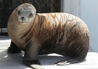 Welcome Odin, our newest California sea lion!