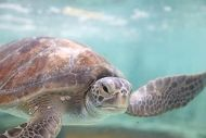 Threatened Sea Turtle, Rehabilitated by the Aquarium, Released Back Into Its Ocean Home
