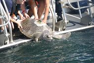 Aquarium Releases Rehabilitated Sea Turtle