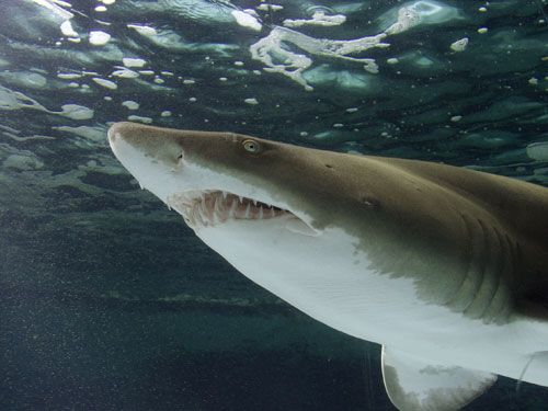 Shark showing teeth - lightbox