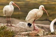 White Ibises on Display for the First Time