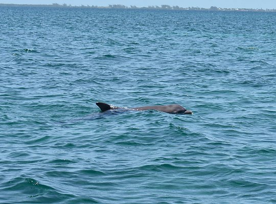 Dolphin dorsal appears above the water. - slideshow