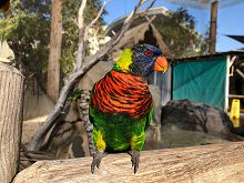 Lorikeet on Post