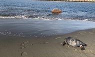 Sea Turtle on a Beach links to Citizen Science: Sea Turtle Monitoring Volunteer