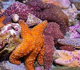 A group of sea stars in the Northern Touch Pool links to Group