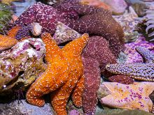 A group of sea stars in the Northern Touch Pool