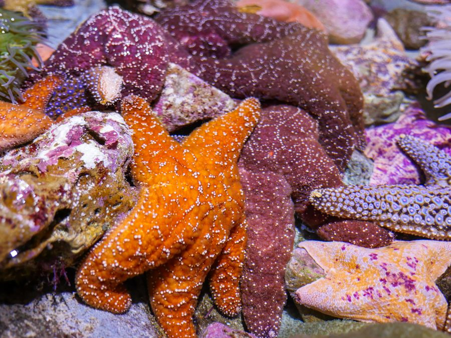 A group of sea stars in the Northern Touch Pool - lightbox