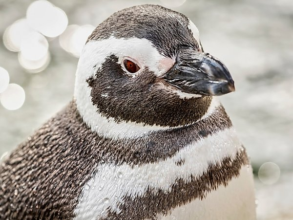 side view of magellanic penguin