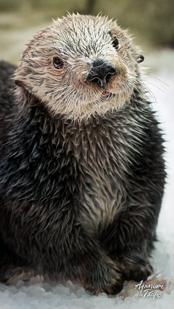 otter posing on patch of ice
