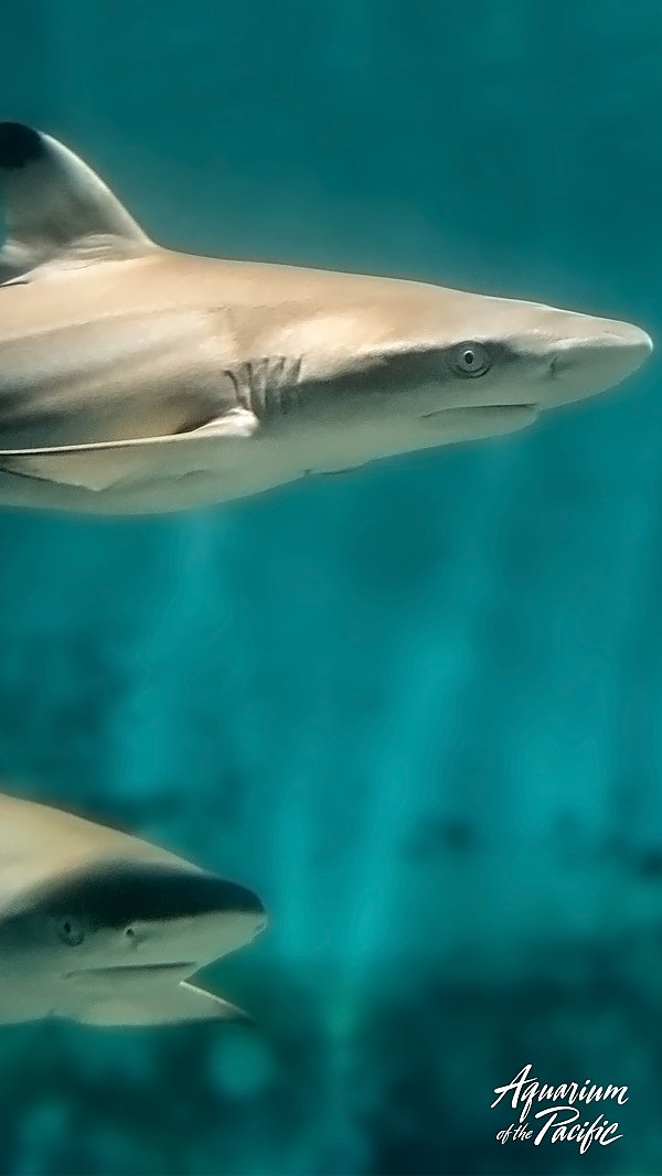 two blacktip reef sharks against blue background