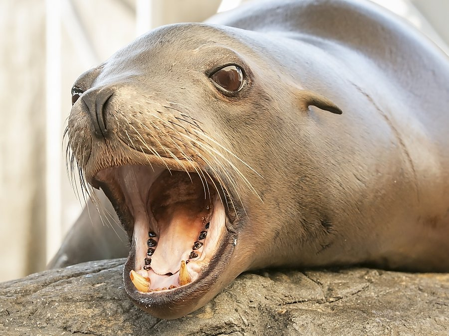 sea lion cain with mouth open