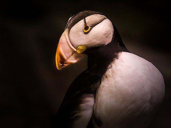 puffin in portrait with dark backdrop