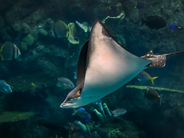 /email_images/eagle_ray_diving.jpg{title}{/calendar:mainimageEV}