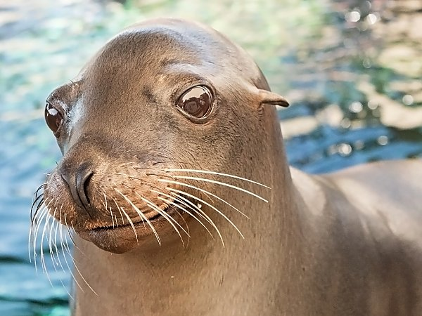 harpo the sea lion portrait