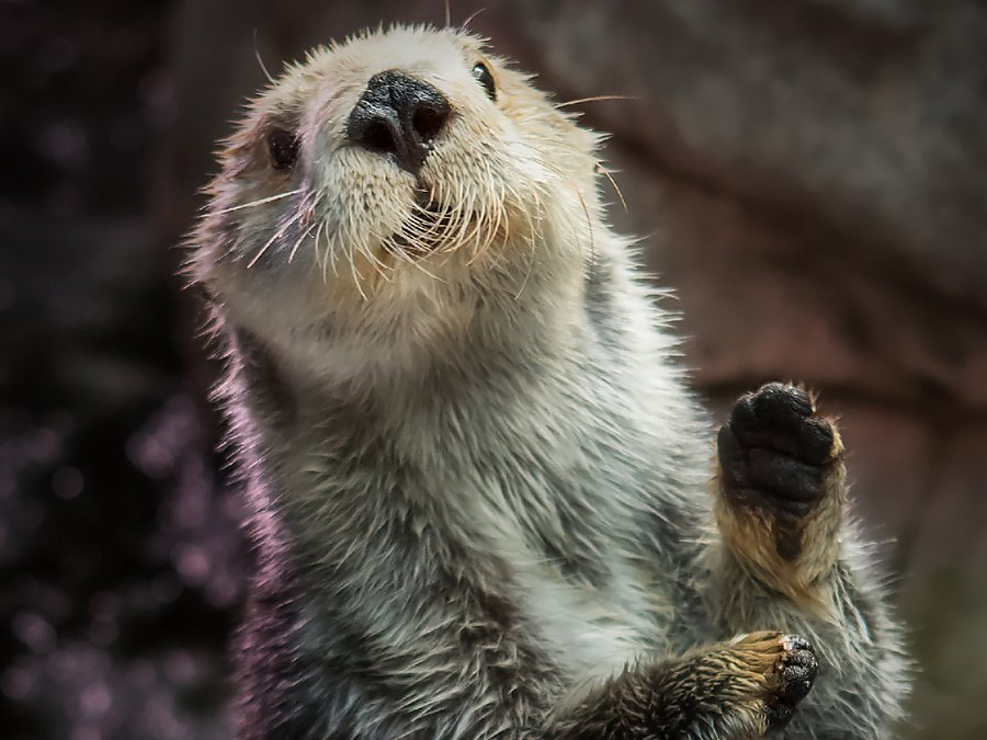 maggie sea otter standing with paw up