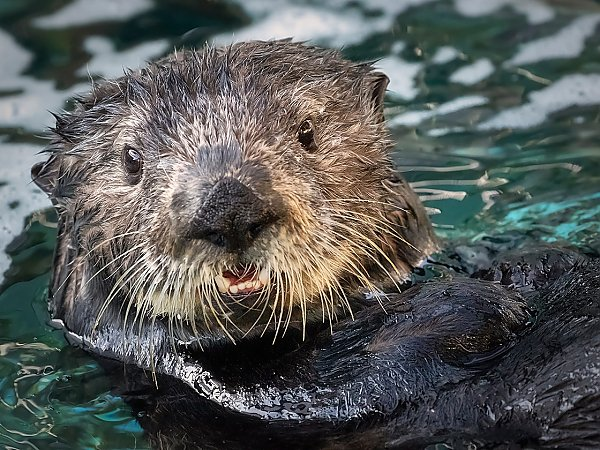 millie the sea otter close-up