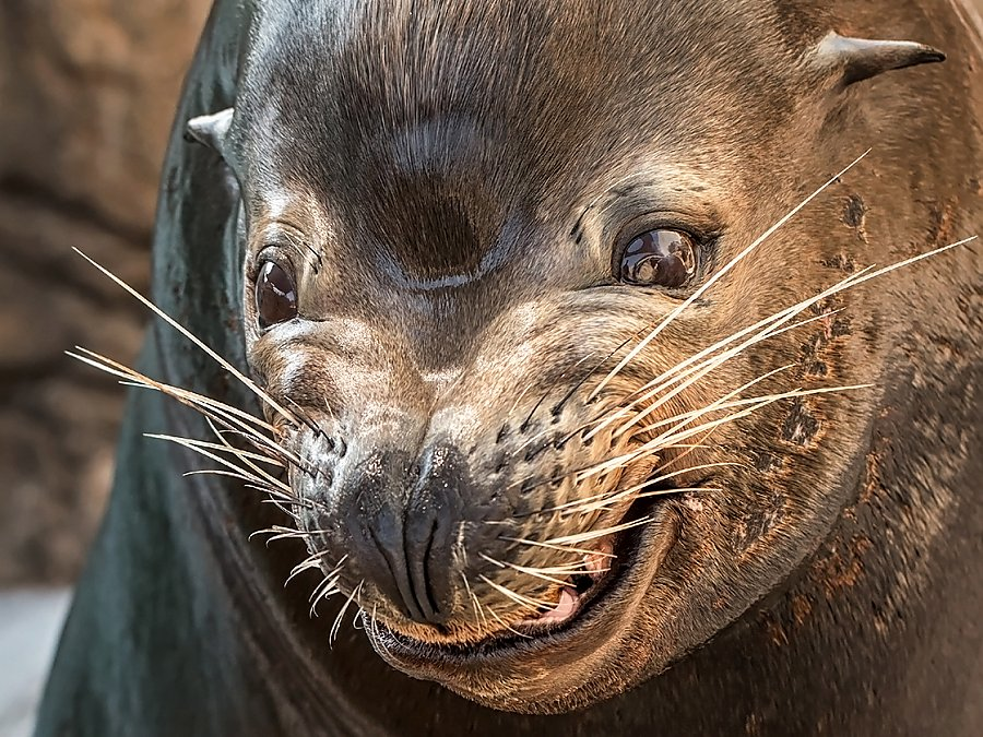 parker sea lion smile