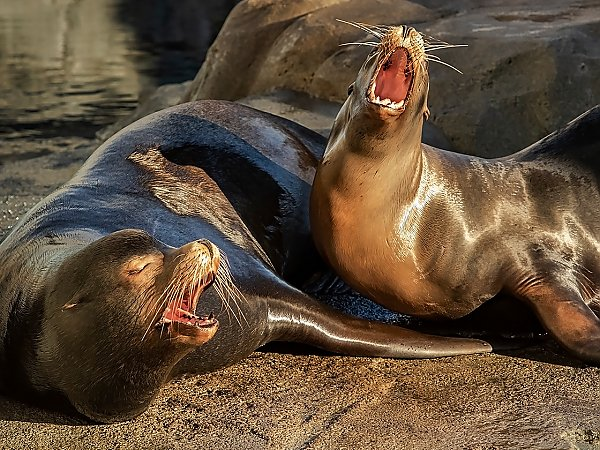 two sea lions barking