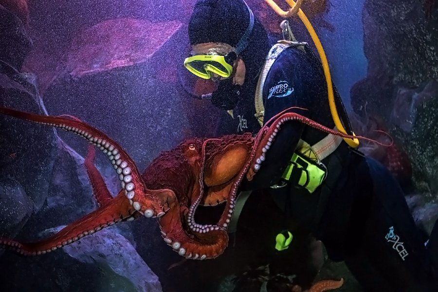 Angelina and Gumball the giant pacific octopus