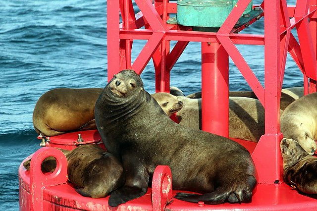 Sea lions sitting on a buoy with a large male in the center