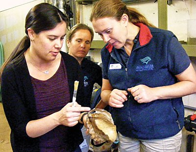 Aquarium staff inspecting an abalone - thumbnail