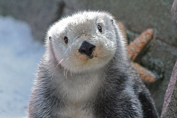 Sea otter looking at the camera with head tilted