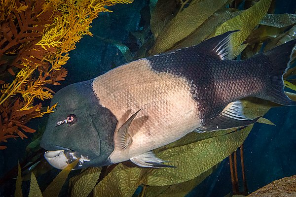 California Sheephead sideview