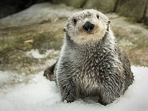 Sea Otter on ice