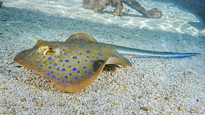 Blue spot ray closeup - thumbnail