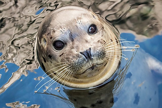 Harbor Seal Kaya peeking out of water