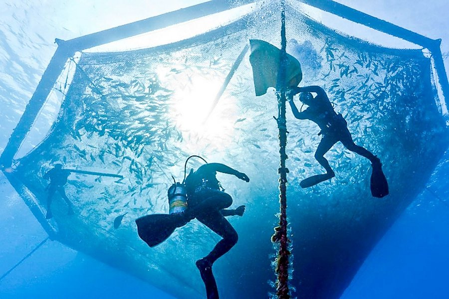 Divers in an fish pen