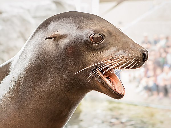 Sea lion with mouth open in the shape of a smile