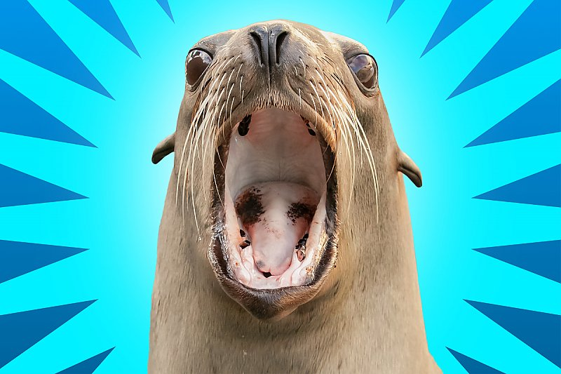 Sea lion with mouth open over spikey graphics