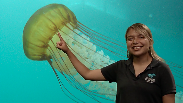 Educator pointing at sea nettle on screen
