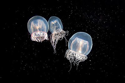 Three small bell jellies against dark background - thumbnail
