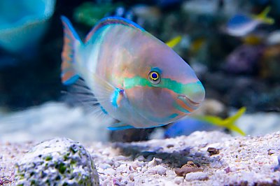 Yellowfin Parrotfish scarus flavipectoralis - thumbnail
