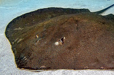 Reticulate Whiptail Ray - thumbnail