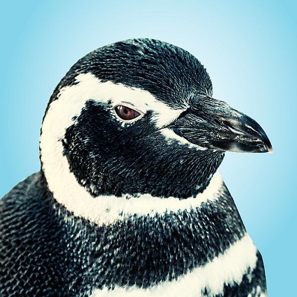 Jayde penguin portrait