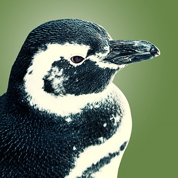 Paddles penguin portrait