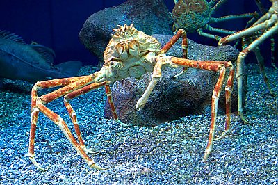 Spider crab in exhibit - thumbnail