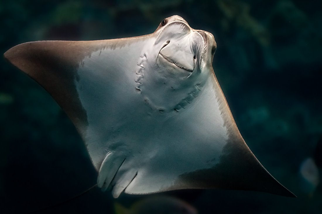 underside of ray swimming