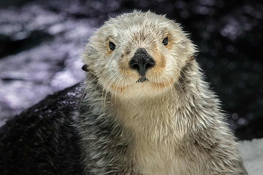 portrait of charlie the sea otter