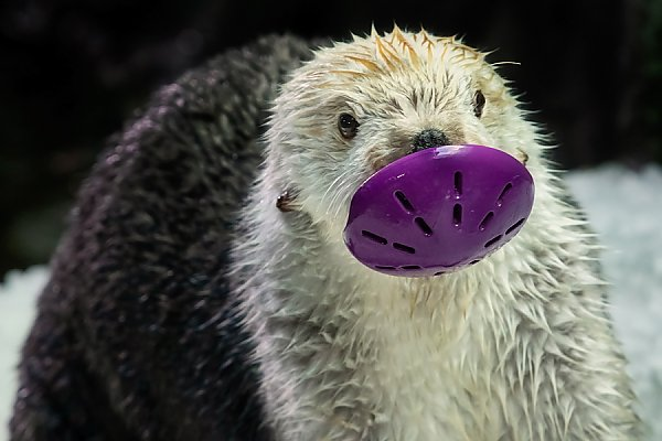Otter holding a purple toy in its mouth