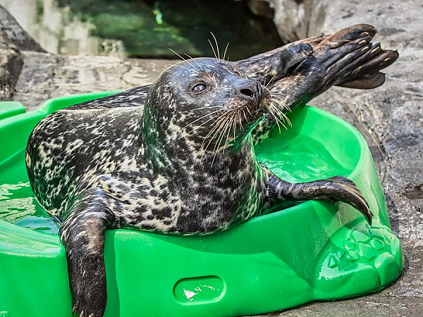 Harbor Seal lounging in green kids pool