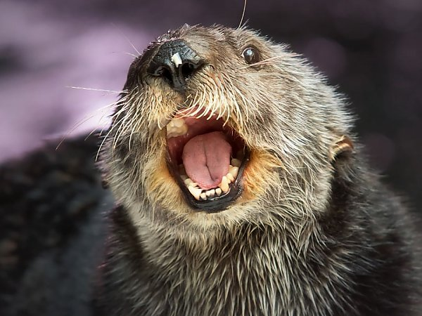 Chloe the otter with mouth open