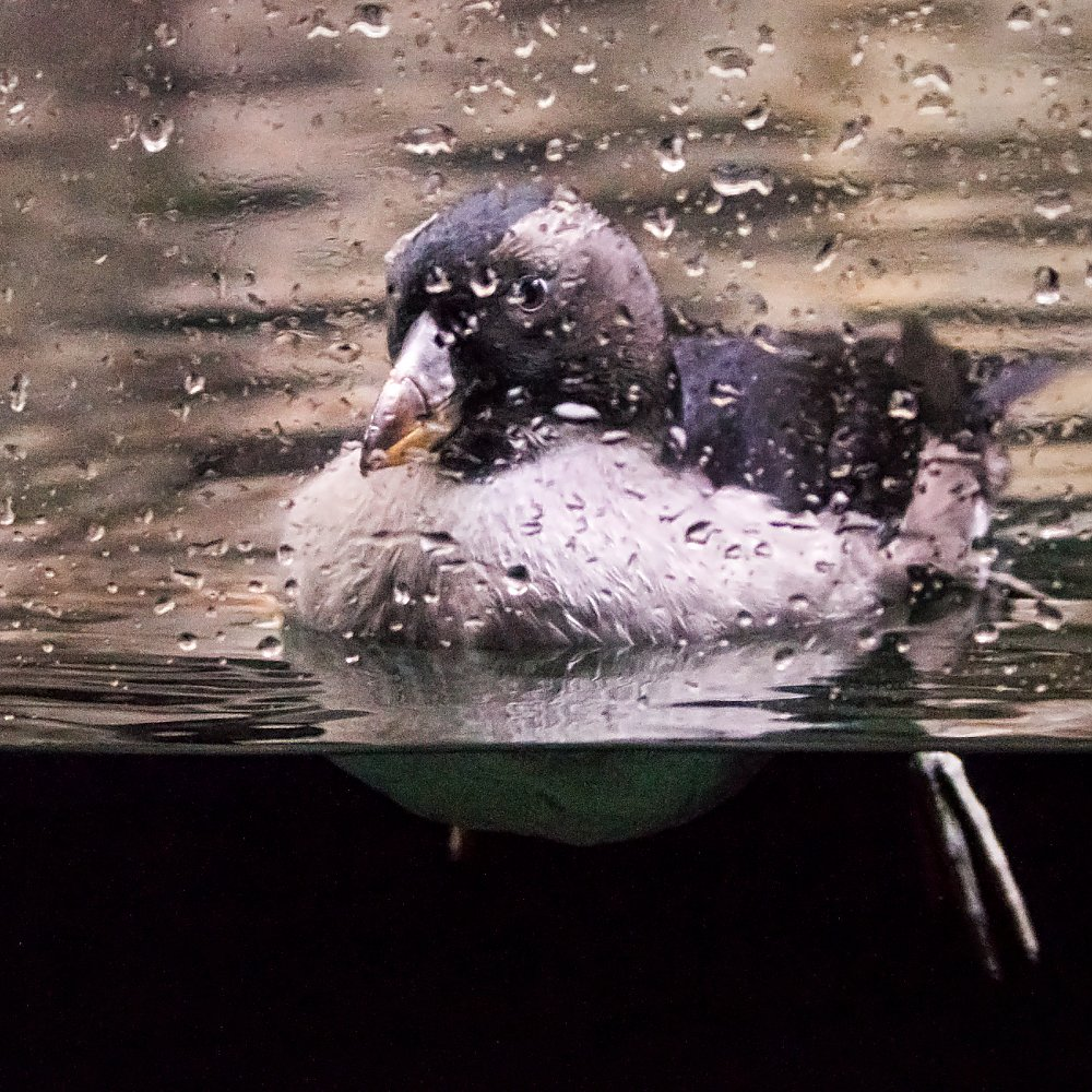 Tufted puffin chick after fledging swimming in the Aquarium