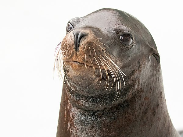 Headshot of Chase the sea lion against white background