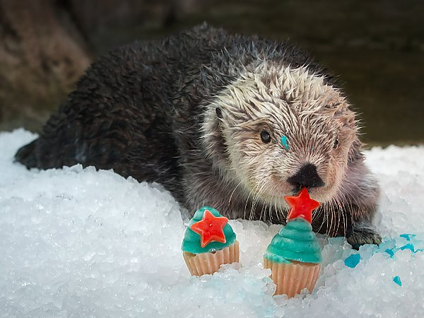Charlie the sea otter rests on an ice pile and touches his nose to a frozen birthday cupcake treat in the Aquarium