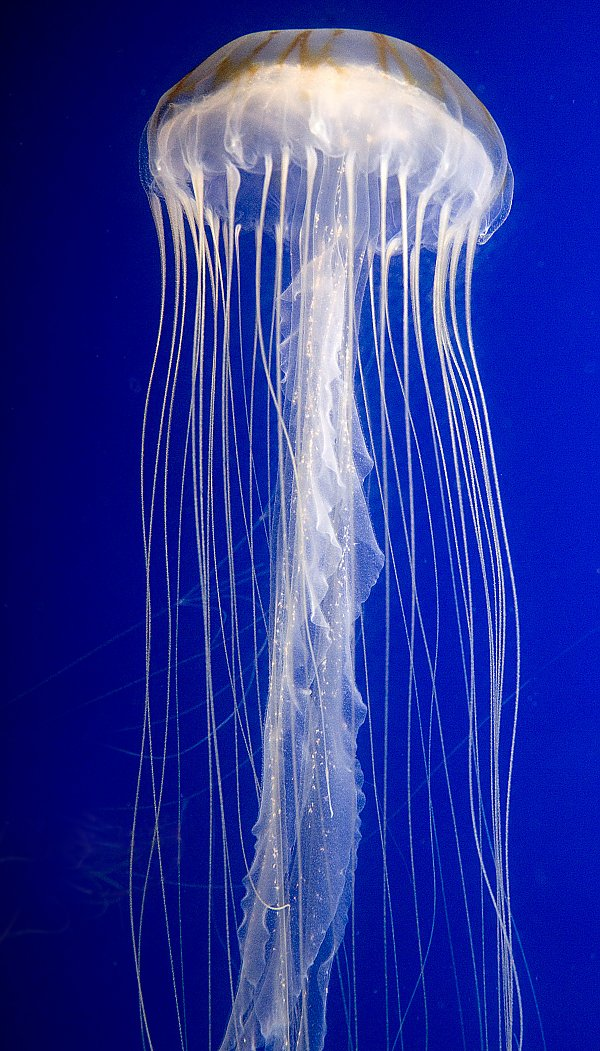 Japanese Sea Nettle on blue background